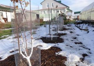 Как защитить яблони от мышей и зайцев зимой