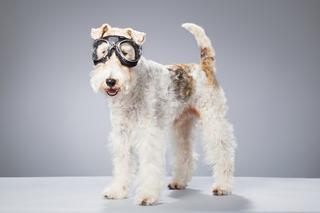 Порода собак фокстерьер