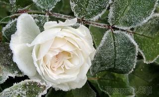 Знать и уметь: укрываем розы