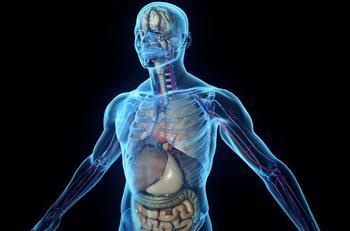 Орган, который отвечает за выведение жира из организма