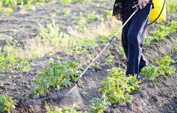 """Народные средства от колорадского жука – обрабатываем огород без """"химии"""""""