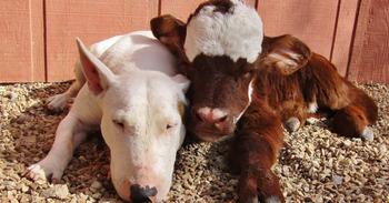 Миниатюрная корова, которая считает себя собакой