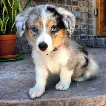 Люди скрестили корги с другими породами собак и получили абсолютно неожиданные результаты