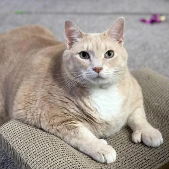 Люди забрали этого 15-килограммового кота из приюта и решили посадить его на диету