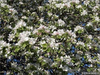 Край цветущих диких яблонь