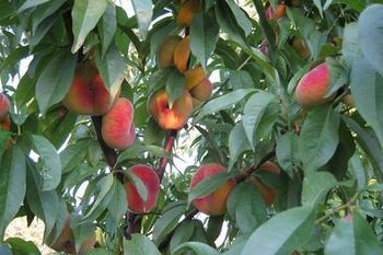 Инжирный персик – садовое дерево для теплого климата