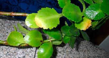 Почему у каланхоэ желтеют листья?
