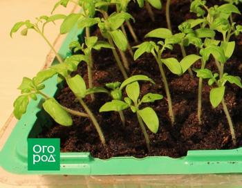 Как пикировать рассаду томатов и перца, чтобы она не болела