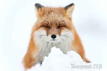 20 потрясающих фотографий зимних лис, которые заставят вас влюбиться в этих животных
