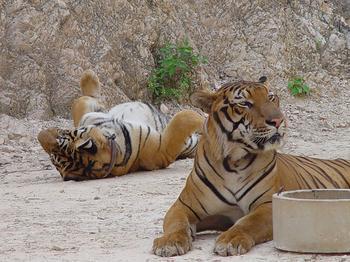Храм тигров — самый полосатый, рычащий и… умиротворенный