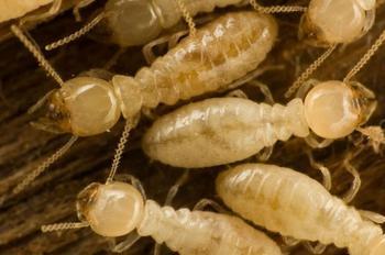 25 самых опасных насекомых планеты