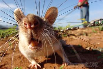 Тренировки крыс - саперов