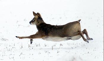 Охота на кабаргу