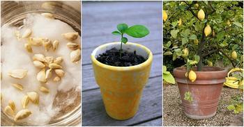 Чем подкармливать лимон в домашних условиях и когда вносить удобрения?