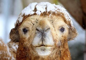 «Корабль пустыни» в снегах Сибири: в Иркутской области спасали верблюда