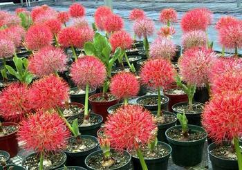 Гемантус: выращивание и уход в домашних условиях