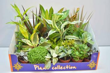 Посадка и уход за цветком Плант микс в домашних условиях