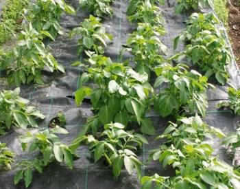 Картофель под пленкой − как получить урожай на 3 недели раньше