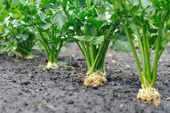 Почему не удается корневой сельдерей: 7 секретов богатого урожая