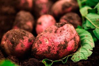 Все особенности картофеля Беллароза