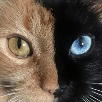 """Венера """"с двумя лицами"""" ─ очаровательная химера из семейства кошачьих"""