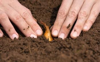 Как вырастить хороший урожай озимого лука? 10 секретов