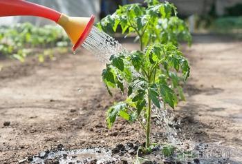 Как правильно нужно поливать рассаду томатов