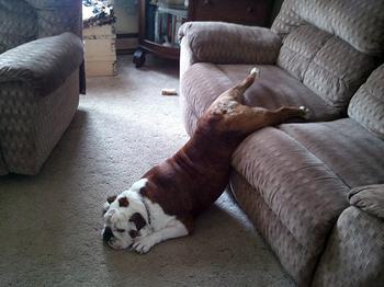 Собаки, которые невероятно устали
