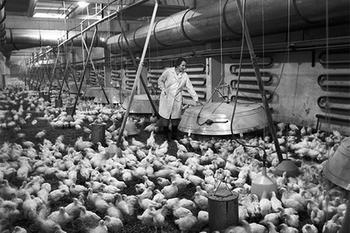 Курица из 1970-х годов оказалась полезнее шести современных бройлеров