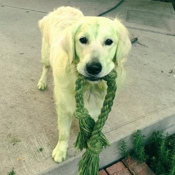 Четвероногие халки, или Собаки после прогулки по свежескошенной траве