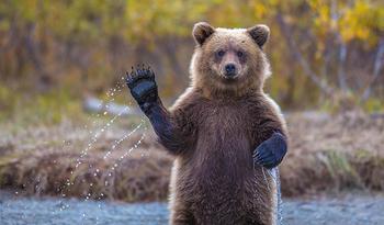 Медведи, такие медведи...