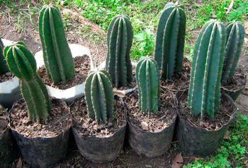 Цереус из разряда кактусовых