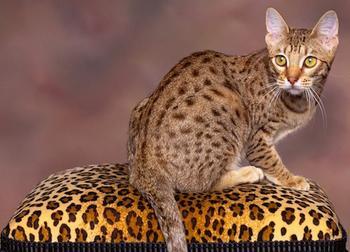 Как выглядит порода кошек тойгер?
