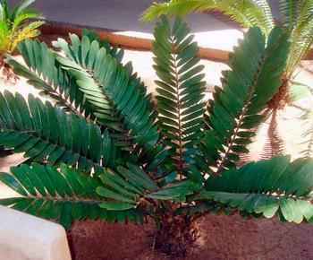 Замия – древний выходец из субтропиков Америки