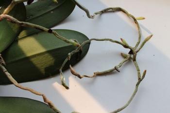 Как вырастить дома орхидею из кусочка корня