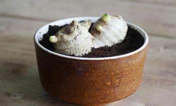 Выращивание имбиря в домашних условиях, особенности ухода