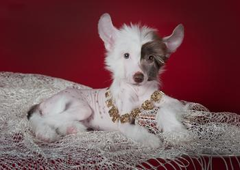 """Необычная порода собак """"китайская хохлатая"""""""