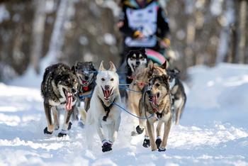Гонка на собачьих упряжках Айдитарод 2021
