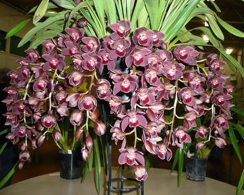 Орхидея «Цимбидиум»: уход в домашних условиях, пересадка, выбор грунта