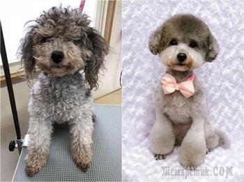 Это собачий парикмахер из Японии так преображает собак, что вы их не узнаете