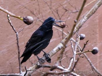 Ворона-орехосборщица