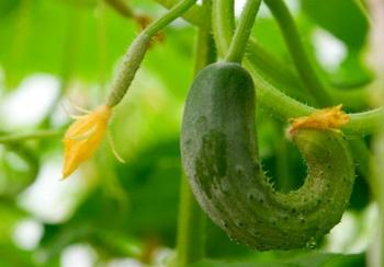 8 причин пустоцвета на огурцах и как с ним бороться