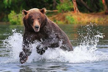 Суровое обаяние медведей в фотографиях Сергея Иванова