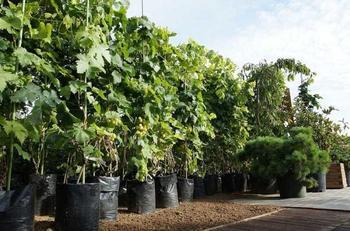 Саженцы винограда: посадка и уход