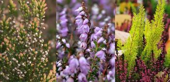 Заросли вереска: придаем саду шотландский колорит