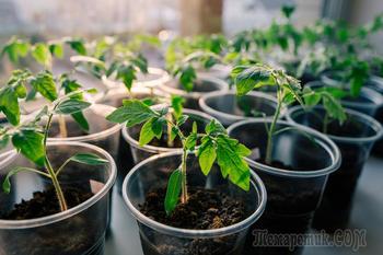 Уход за рассадой после пикировки – все о ее досвечивании, поливе, подкормках, обработке от болезней