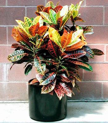 Декоративно-лиственные комнатные растения: фото и виды