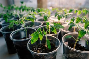 Пикировка рассады томатов в домашних условиях – мастер-класс с фото