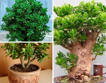 Денежное дерево: как правильно ухаживать за растением