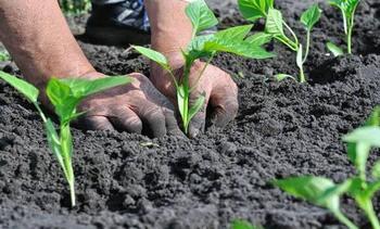 Правильная посадка перца в грунт рассадой: когда и как сажать, уход после высадки